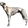 Whippet-breed