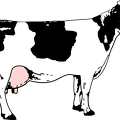 black-white-cow